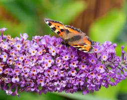 Komule Davidova neboli motýlí keř