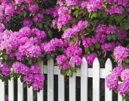 Růžový kultivar pěnišníku
